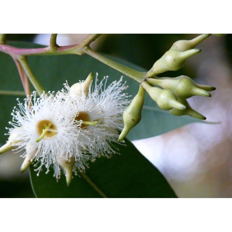 Huile essentielle pour sauna - Eucalyptus