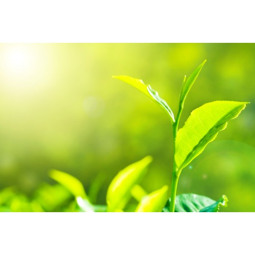 Emulsion d'huiles essentielles - Eucalyptus /Menth